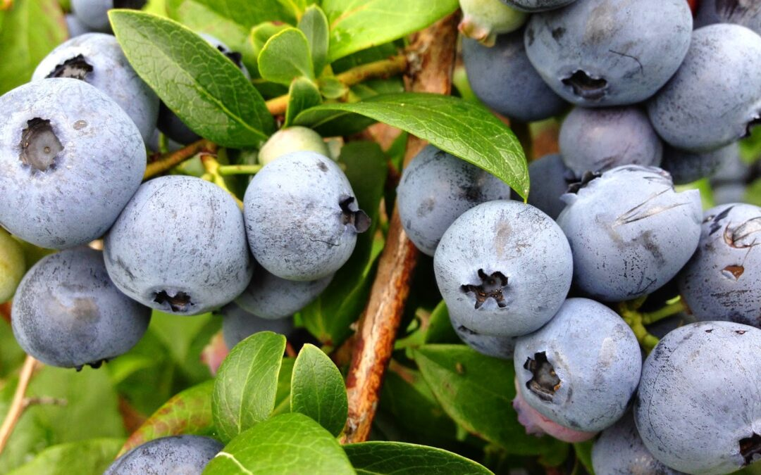 WW: Blueberry Picking